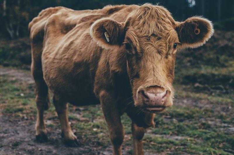 Cadbury - Adopt A Cow