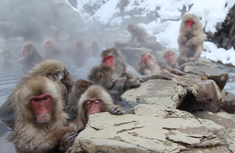 Japanese Snow Monkeys Enjoy Hot Springs - Associated Press