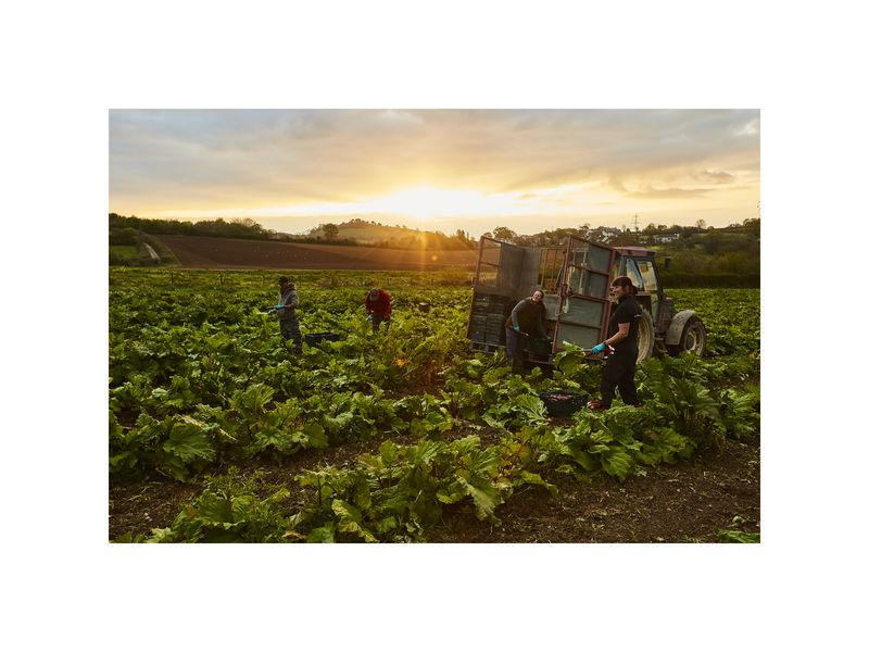 Capturing rhubarb pickers under a beautiful sunrise-only one problem, the clouds are rolling in...