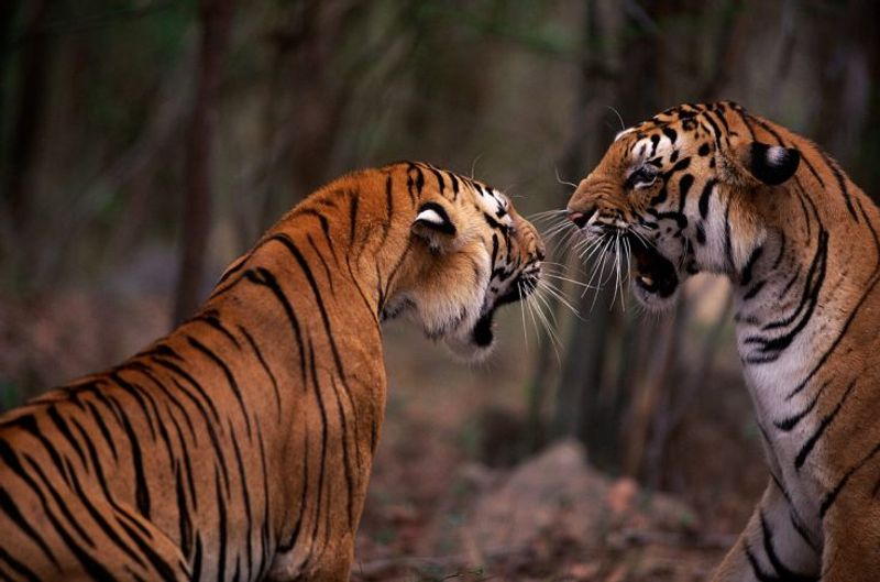 WWF Tiger Experience
