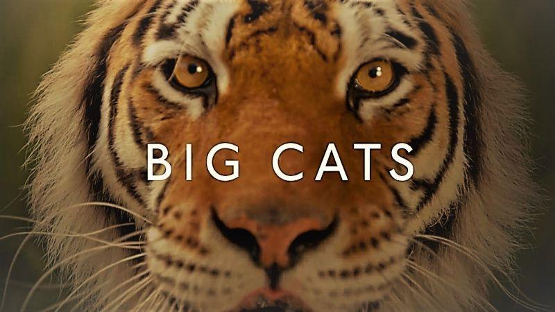 Big Cats (Social Campaign)