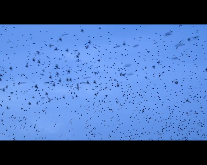 A Murmuration: Sound Design/Composition