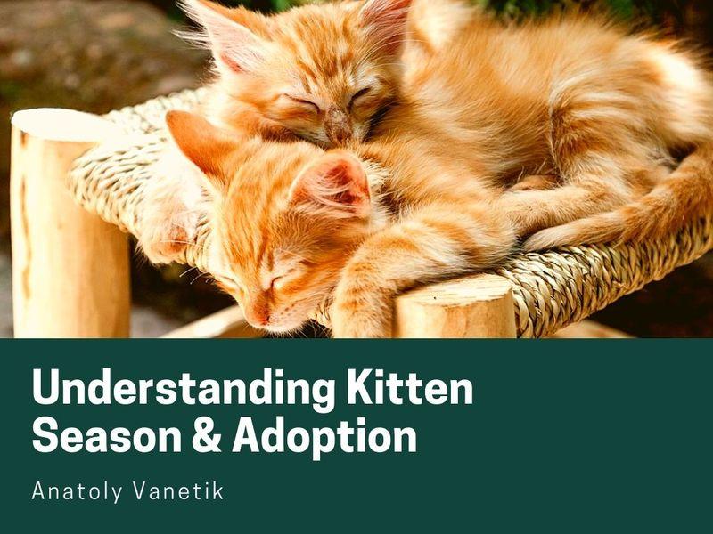 Understanding Kitten Season And Adoption
