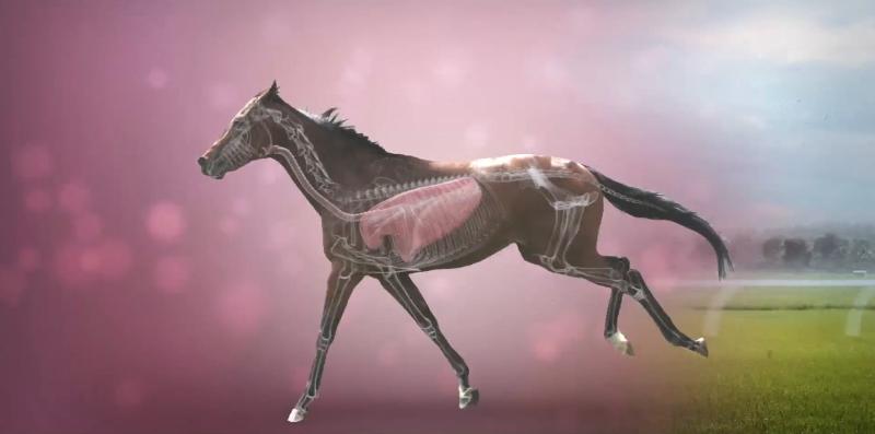 Race Horse Anatomy
