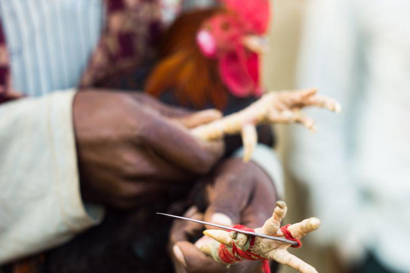 Cockfighting, Bankura, West Bengal, India, 2011